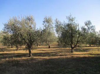 84V – Appezzamento di terreno di 3000mtq con oliveta